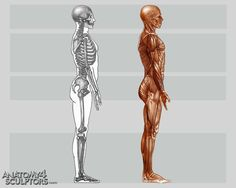 AnatoRef   Anatomy and Proportions Top Image Row 2 & 3 Row...