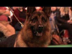 Crufts 2013 German Shepherd Dog Best of Breed - Ch Elmo Vom Huhnegrab - dogworld.tv