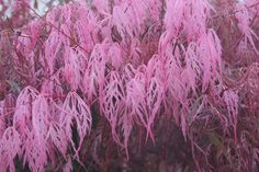 acer palmatum hana matoi