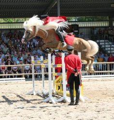 Nordtirol, Haflinger Stallion, jumping 5 ft.  On loan in America at Tudor Oaks Farm for the next 3 years.