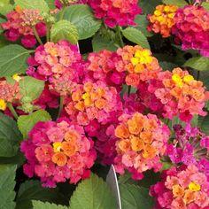 Lantana Tree, Lantana Flower, Lantana Plant, Flower Pots, Moon Garden, Dream Garden, Beautiful Flower Arrangements, Beautiful Flowers, Landscaping Plants