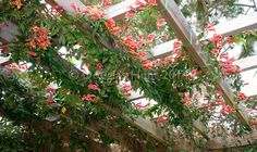 Why crossvine is a great pergola plant :: Hometalk