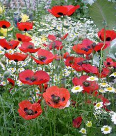 'Lady Bird' Poppies (Papaver)