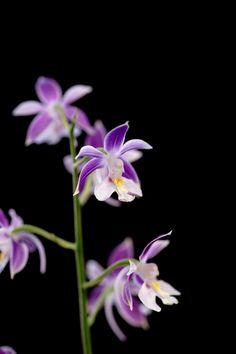 https://flic.kr/p/sxCJvM | Ebine (Japanes orchid)-21 | 20150430-DSC01255  えびね (海老根)/Calanthe sp. ラン科エビネ属 Ebine Japanes orchid