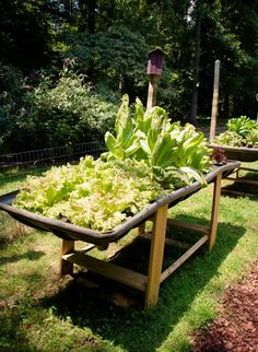 Raised lettuce beds ...Is easy to reach; Keeps slugs out too.  This would be nice right by my house; just walk out of the kitchen and grab some leaves.  Also a nice way to cover up a useless, ugly gravel spot.