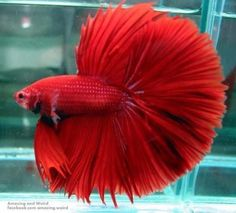 wow Pretty Fish, Cool Fish, Beautiful Fish, Simply Beautiful, Absolutely Gorgeous, Betta Fish Types, Betta Fish Care, Colorful Fish, Tropical Fish