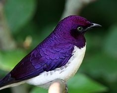 The Violet-backed Starling (Cinnyricinclus leucogaster), also known as the Plum-coloured Starling or Amethyst Starling from sub-Saharan Africa.