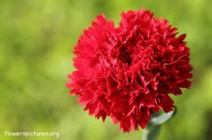 Carnation flower pictures, Carnation pictures