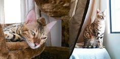 Bengal Cat <3