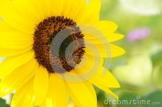 Sunflower - Stock Photos - Download From Over 61 Million High Quality Stock Photos, Images, Vectors. Sign up for FREE today. Image: 95090453