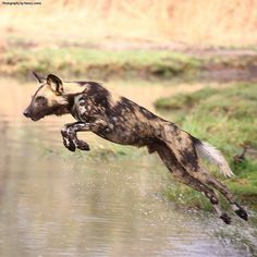 The population of African Wild Dog has been on the decline due to ongoing habitat fragmentation, conflict with humans and disease. African Hunting Dog, African Wild Dog, Hunting Dogs, Jungle Animals, Animals And Pets, Funny Animals, Cute Animals, Wildlife Photography, Animal Photography