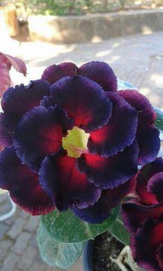 Strange Flowers, Dark Flowers, Beautiful Rose Flowers, Amazing Flowers, Bonsai Plants, Garden Plants, Desert Rose Plant, Virtual Flowers, Beautiful Flowers Wallpapers