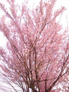 Cherry blossom, so pretty