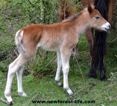My New Forest foal age 17 hours!