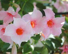 Planting for #Pantone #ColoroftheYear for 2016 #RoseQuartz & #Serenity: Sun Parasol Original Cream Pink mandevilla