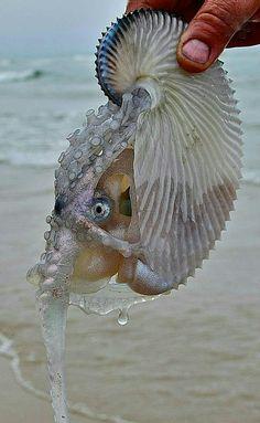 The female Argonaut Octopus travels the oceans in her 'Paper Nautilus' .