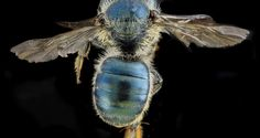 USGS Native Bee Inventory and Monitoring Program