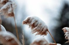 CGS_6002.JPG - Snow covered reed