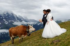 Swiss Cows as your wedding guests ! Wedding Company, Wedding Sets, Wedding Day, Wedding Photoshoot, Marry Me, Cows, Switzerland, Image, Beautiful