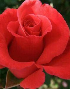 Pretty Rose.