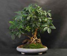 Schefflera - pruning and bonzai tips
