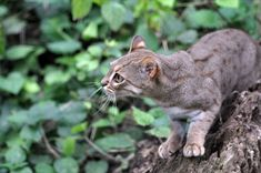 The Rusty-spotted Cat is the smallest wild cat in Sri Lanka and is also considered as a competitor for the smallest wild cat in the world alongside with the Small Wild Cats, Small Cat, Big Cats, Cute Cats, Pretty Cats, Sri Lanka, Rusty Spotted Cat, Black Footed Cat, Big Cat Family