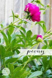 5 More Must-Have Perennials | from On Sutton Place | Peony