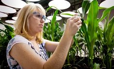 Research Biologist Heidi Windler takes tissue samples from genetically modified corn plants inside a climate chamber housed in Monsanto agribusiness headquarters in St Louis, Missouri, 21 May Healthy Living Recipes, Healthy Cooking, Whole Food Recipes, Eating Healthy, Healthy Food, Golden Rice, Gmo Facts, Genetically Modified Food, Corn Plant