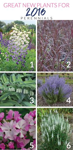The Impatient Gardener: GREAT NEW PLANTS FOR 2016: PERENNIALS EDITION