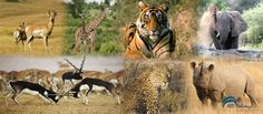 Book online Wildlife Tours in India  Book Wildlife Tours in India offered by thebestindiatours.com & don't miss a chance to catch a glimpse of the varied flora and fauna of the rich and exotic wildlife of India.