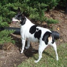 My large Rat Terrier, Tucker.Our Rat Terrier has a button tail, which this looks like it as well here!