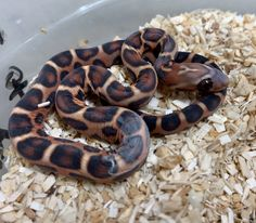 Scaleless Abbotts Okeetee Corn Snake by BHB Reptiles Hamster Bedding, Wonder Pets, Beautiful Snakes, Pet Snake, What Dogs, Secret Life Of Pets, Kinds Of Dogs, Pet Life