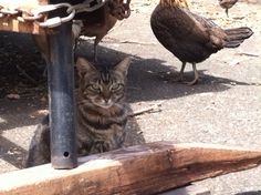 Wild chickens & a cat are friends