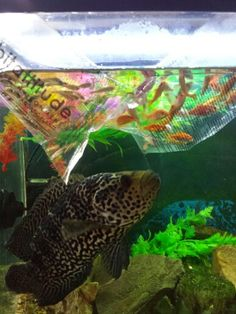 1000 images about cichlids on pinterest jaguar for Blue koi pond liner