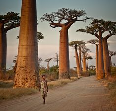 camino de tierra entre las localidades de Morondava y Belo Tisibihina -región de Menabe, Madagascar -