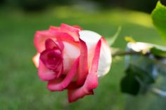 Rose Rose, Flowers, Plants, Pink, Roses, Flora, Plant, Royal Icing Flowers, Flower