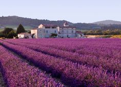 Lavender fields, Provence, France Huge fields of lavender are grown and harvested every year in France and the UK. Provence in southeastern ...