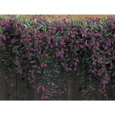 Happy Wanderer Vine Lilac: Gardenista