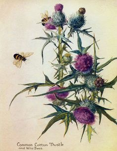 thistle old botany art - Google Search
