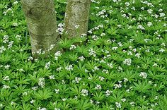 Groundcover Sweet Woodruff. Shady moist location. Zones 4-8. Sweet woodruff spreads by runners. It does not need to be fertilized and should only be watered in times of drought.