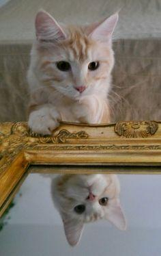 Maya Moriaty   Cute Cat  Maine coon  Mirror
