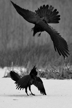 snow winter animals Black and White nature bird fight angry raven ravens crow falling snow black bird livalskare Raven Wings, Raven Bird, Quoth The Raven, Funny Bird, Animals Black And White, Jackdaw, Crows Ravens, Tier Fotos, Mundo Animal