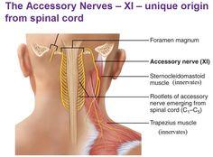 accessory nerve xi rootlets Hip Muscles Anatomy, Nerve Anatomy, Muscle Anatomy, Neurological System, Peripheral Nervous System, Brain Nerves, Cranial Nerves, Vagus Nerve Stimulator, Sport Motivation