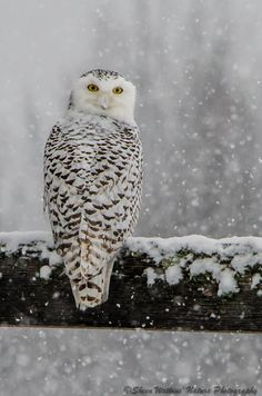 Snowy Owl © 2013 Sheen's Nature Photography - I remember seeing one of these quite often as a kid, in the winter in Western NY state.