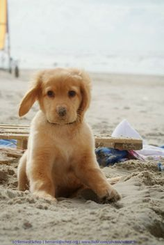 Adorable Golden Retriever Puppy on beach
