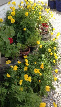 Skogvalmuene har fått selskap av noen overvintrede pelargonier som har fått komme ut fra vinterdvalen i hagestuen :) - det samme har overvintrede kinanellik - en blomst jeg forøvrig er veldig glad i :) Blomstringen på den er ikke langt unna :) / The Meconopsis cambrica has got company by a Pelargonium and some Dianthus chinensis - which I like very much - their blooming is soon I suppose :) 25.5.2014/IJ