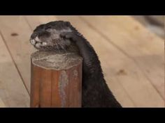 Otter wants his rock down, now up, now down - June 29, 2012