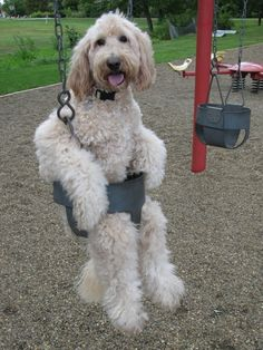 Oh my goodness.... Goldendoodles want to please us humans so much, they will even sit in a swing.