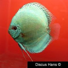 1000 ideas about discus fish for sale on pinterest for Live discus fish for sale