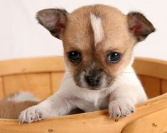 20 raisons de ne jamais adopter un Chihuahua Chihuahua Puppies For Sale, Baby Chihuahua, Tiny Puppies, Cute Puppies, Cute Dogs, Brown Chihuahua, Teacup Chihuahua, Puppy Day, Puppy Dog Eyes